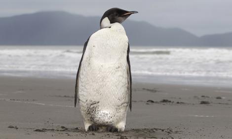 Emperor Penguin in New Zealand